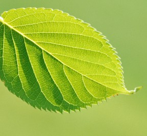 single-green-leaf-pictures